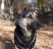Jasper the Shepsky