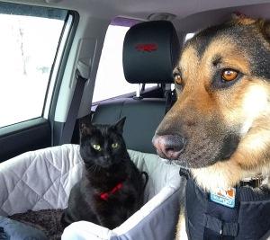 Cat in car seat